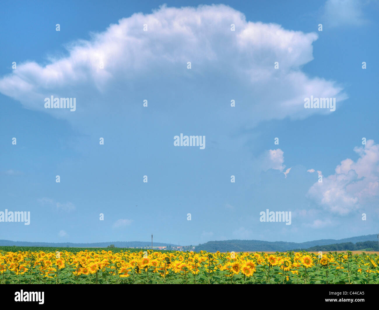 Leaves, yellow, storm cloud, cloud, green, seeds, sperms, sunflowers, agriculture, canton Zurich, Switzerland, - Stock Image
