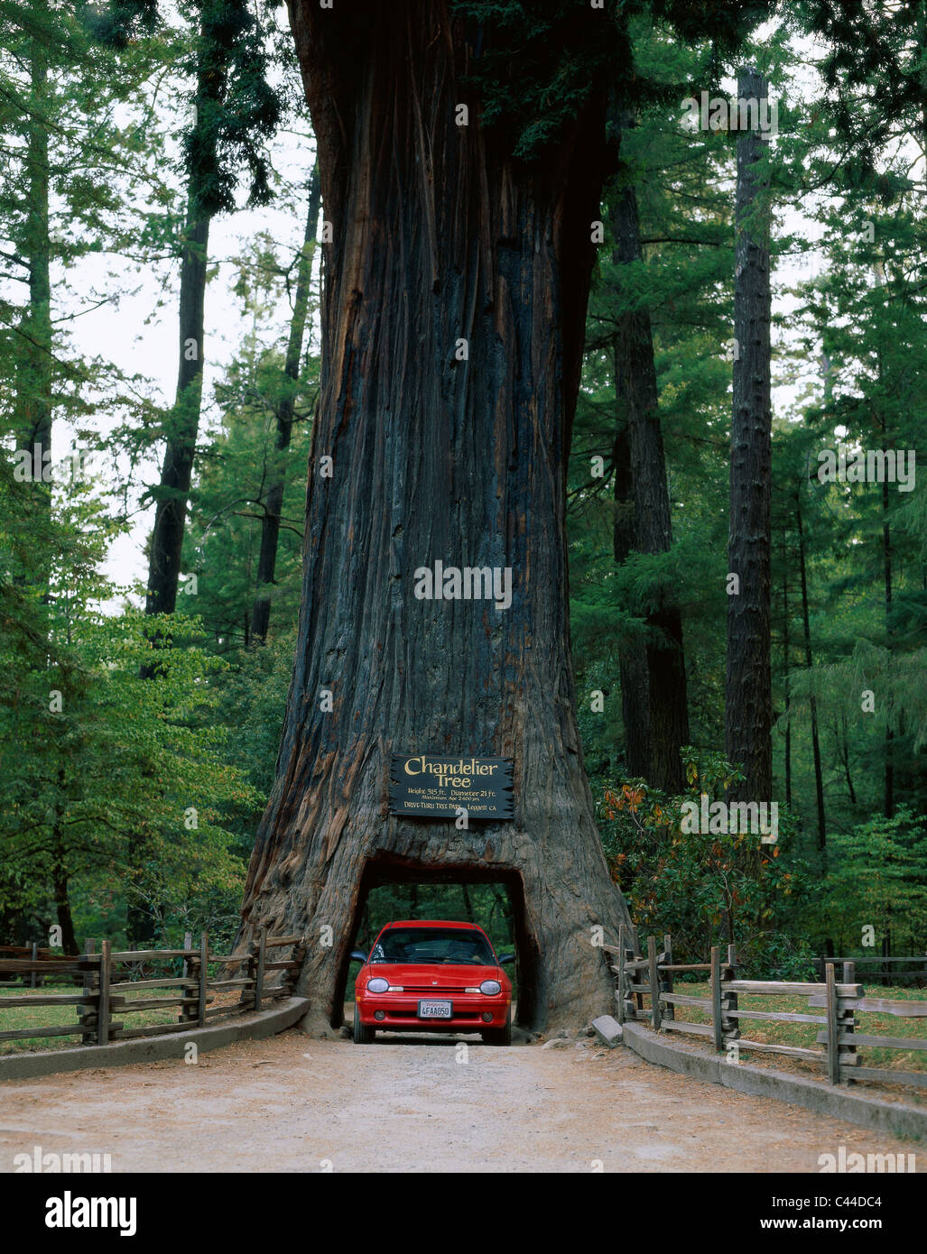America California Car Chandelier Drive Driving Holiday Landmark Leggett Redwood Through Thru Tourism Travel Tree