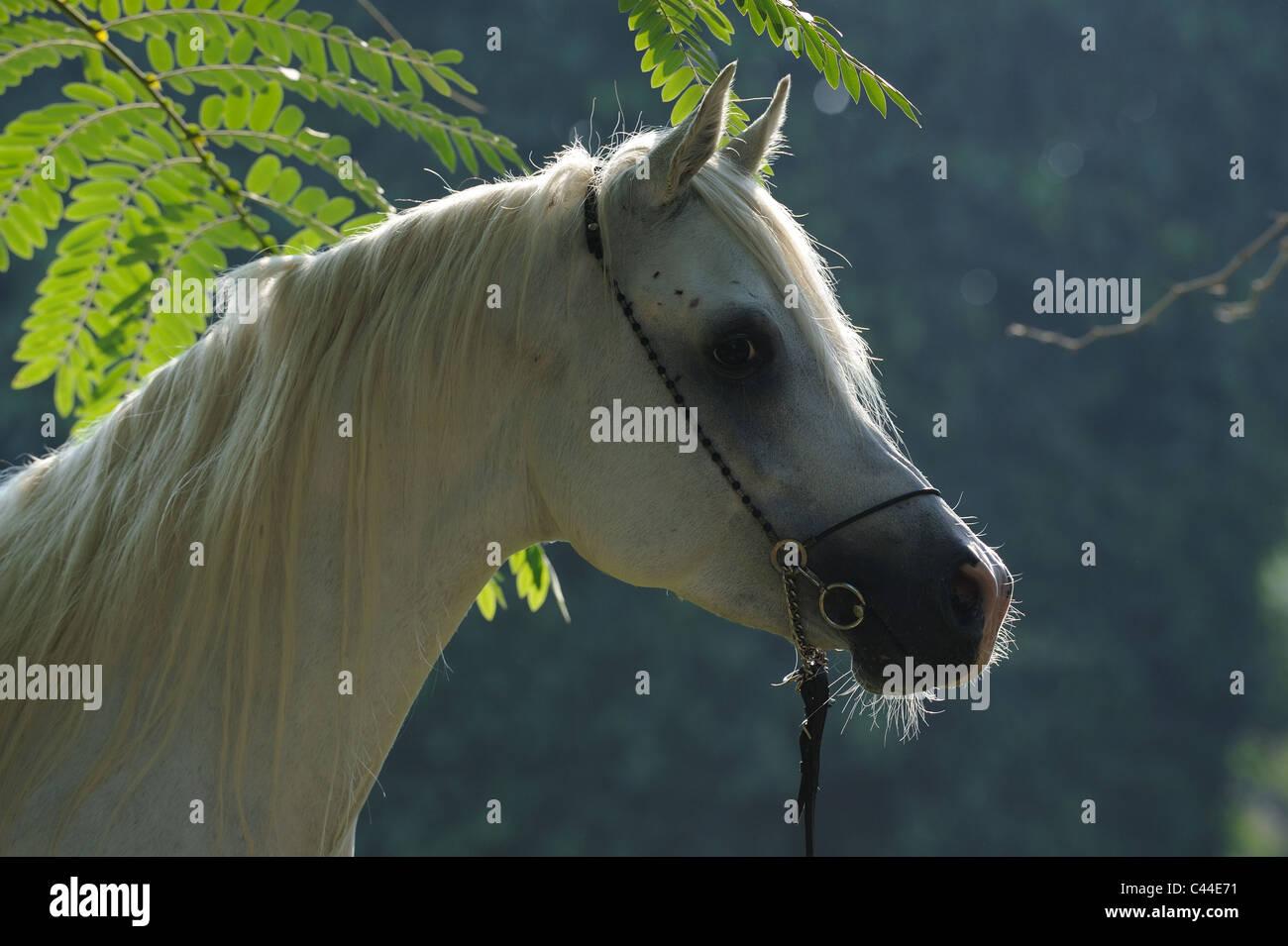 Purebred Arabian Horse (Equus ferus caballus), portrait of a gray stallion. - Stock Image