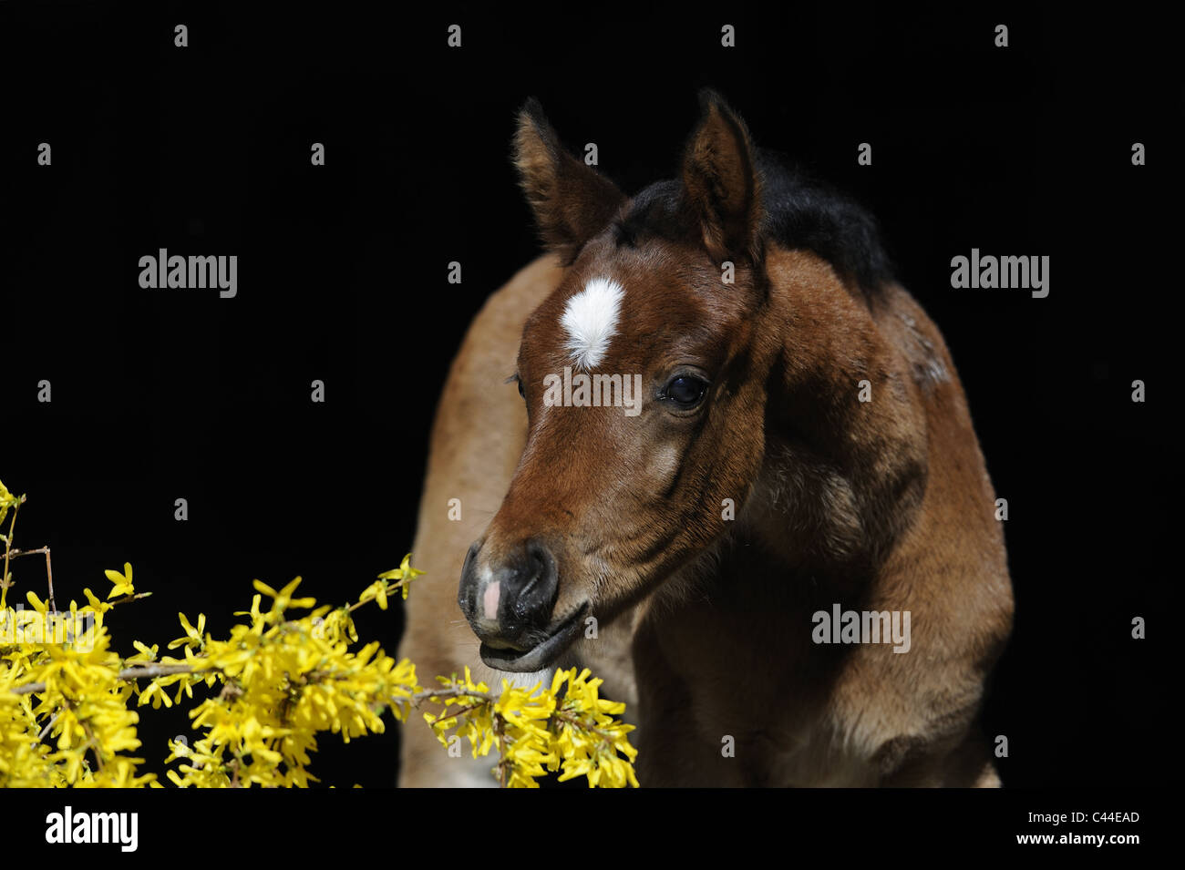 Purebred Arabian Horse (Equus ferus caballus). Bay foal sniffing at a flowering Forsythia. - Stock Image