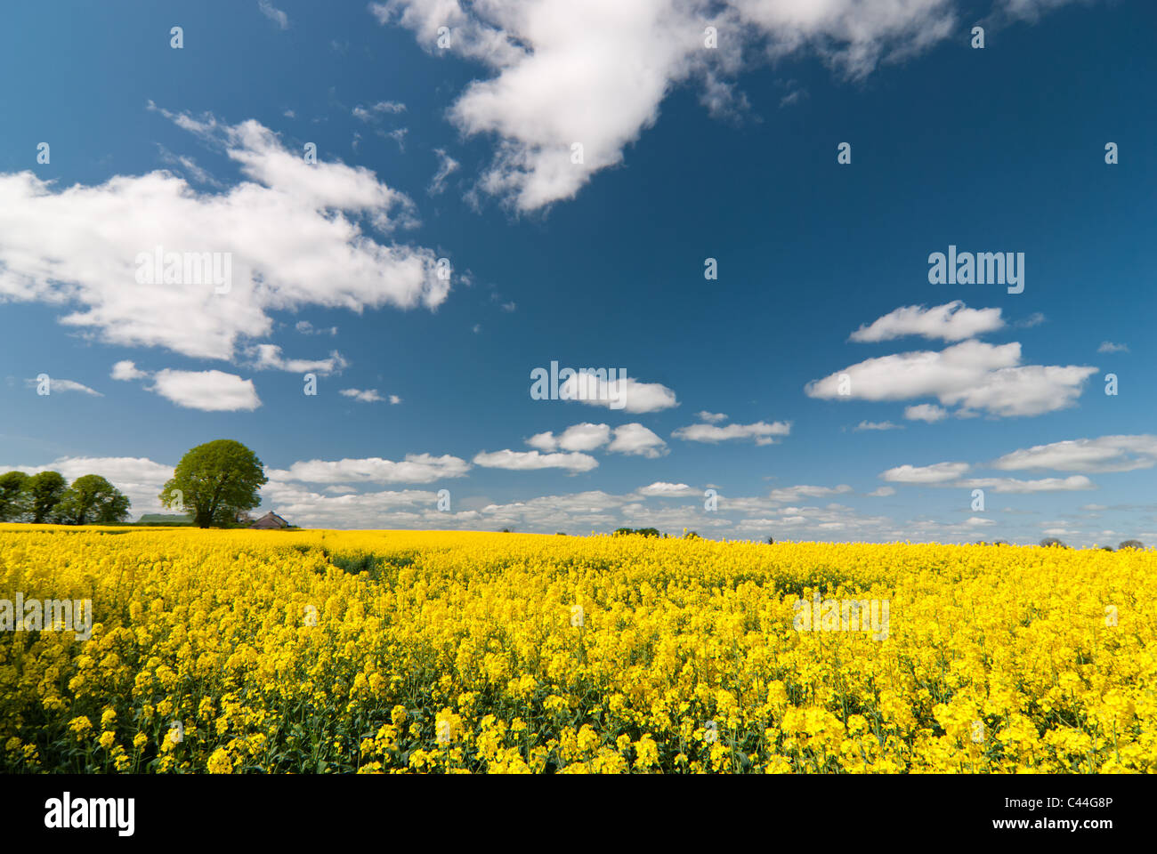 Farming for energy crops (rapesee oil) on the outskirts of Dublin. Stock Photo