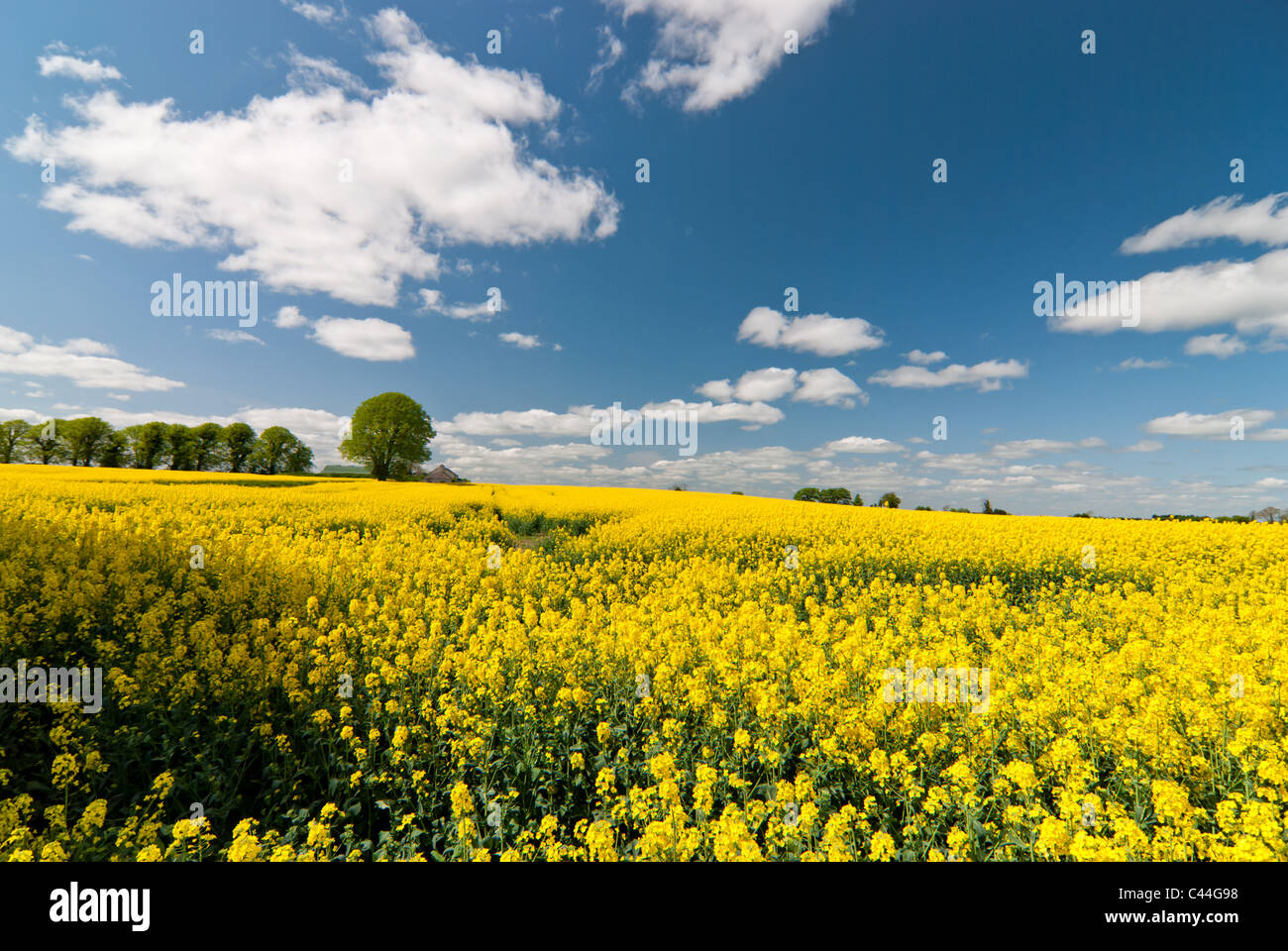 A massive rapeseed field in full bloom on the outskirts of Dublin, Ireland. Stock Photo