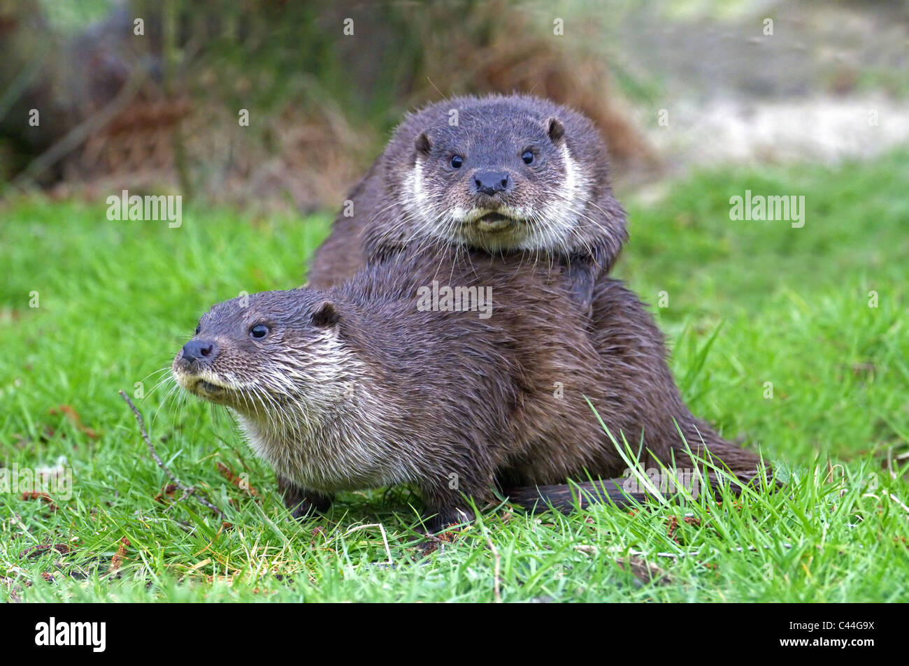 PAIR OF  OTTERS LUTRA LUTRA  SPRING - Stock Image