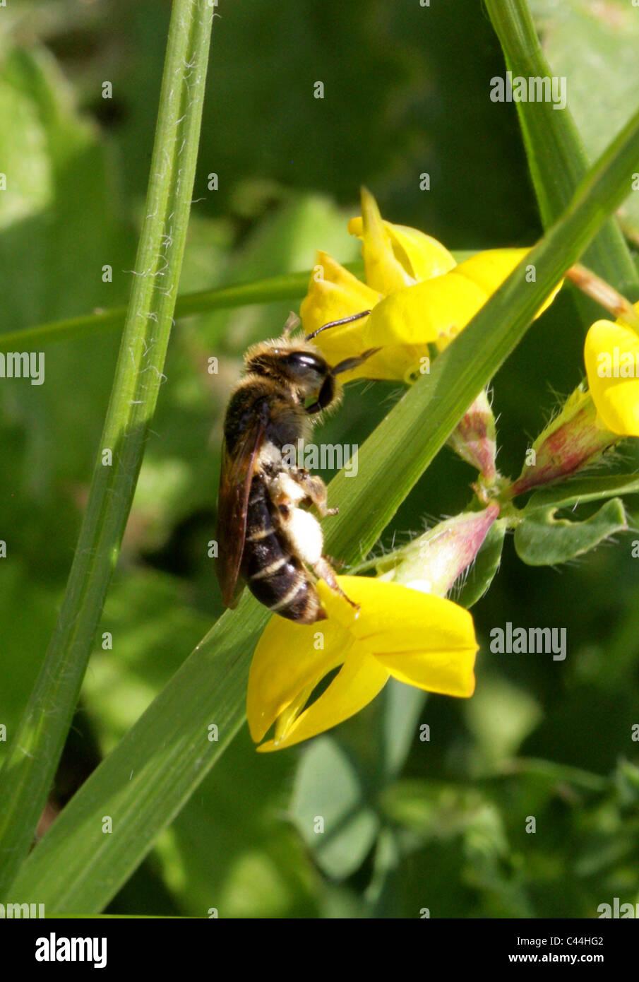 Sweat Bee, Halictus rubicundus, Halictidae, Hymenoptera. Feeding on Birdsfoot Trefoil. - Stock Image