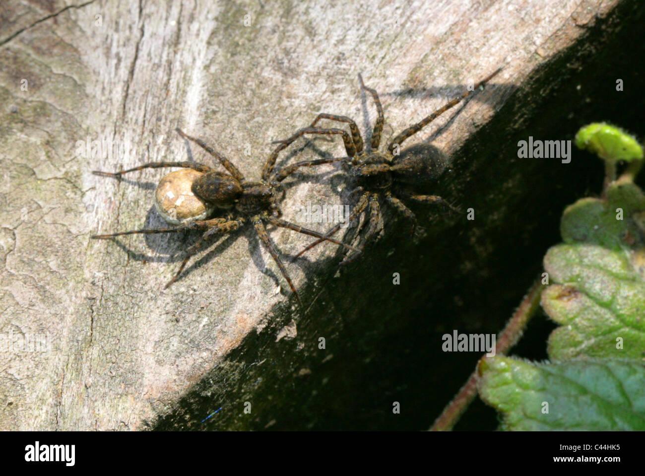Male and Female Wolf Spider with Egg Sack, Pardosa lugubris, Lycosidae (wolf spiders), Araneae (spiders), Arachnida - Stock Image