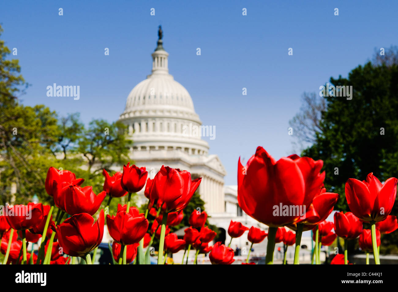 WASHINGTON DC, USA - Red tulips in full bloom in the spring in front of the US Capitol Building dome in Washington Stock Photo