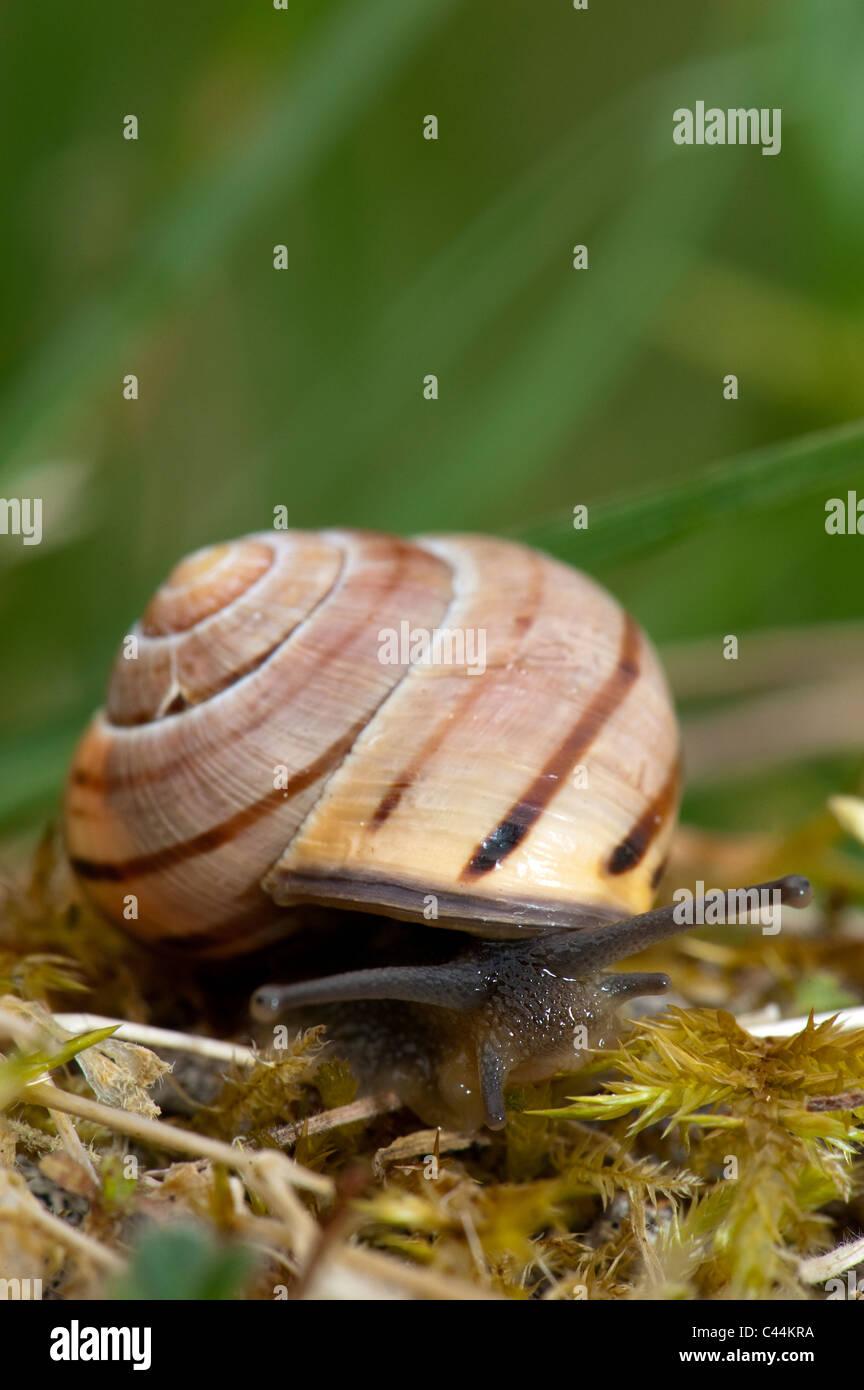 Brown Lipped Snail. Capaea nemoralis. - Stock Image