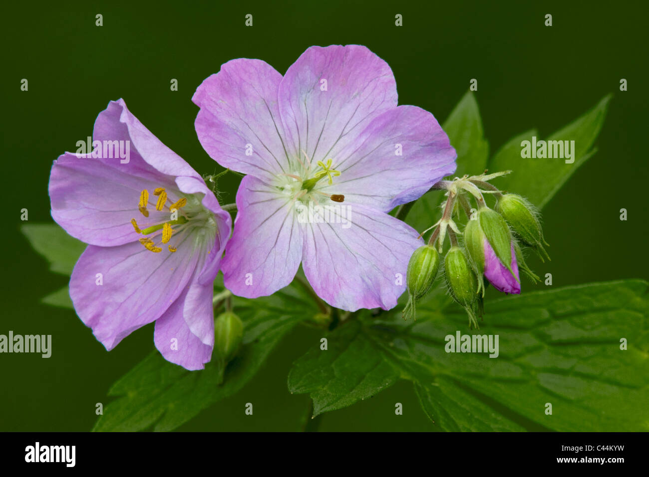 Wild Geranium maculatum flowers and flower buds Spring Eastern United States and Canada - Stock Image