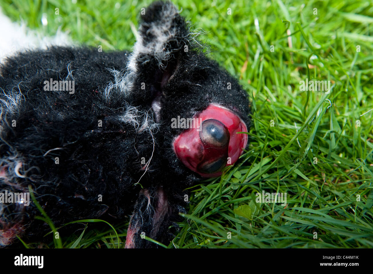 Lamb with deformed head. Was born alive - Stock Image
