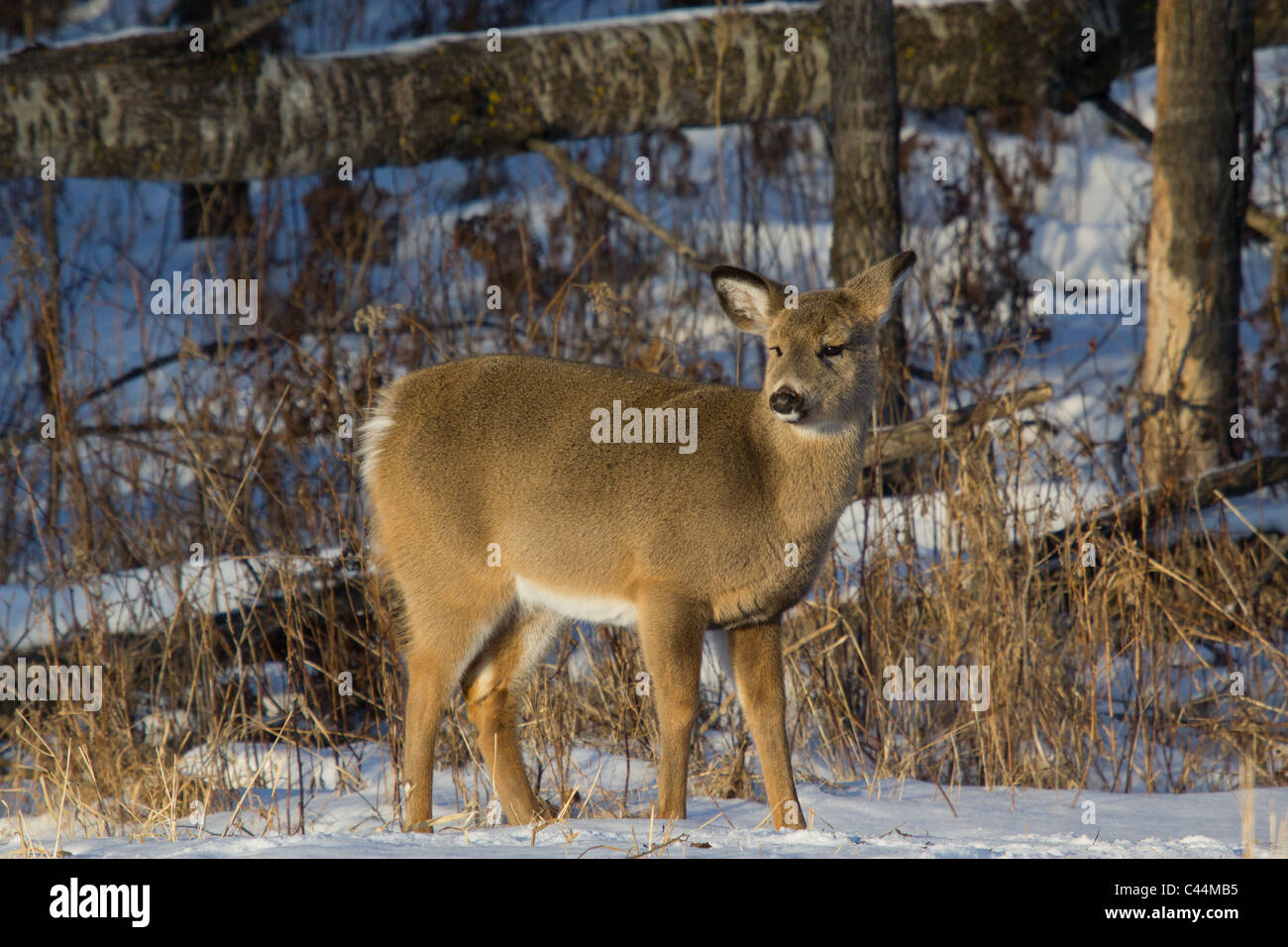 White-tailed deer in winter - Stock Image