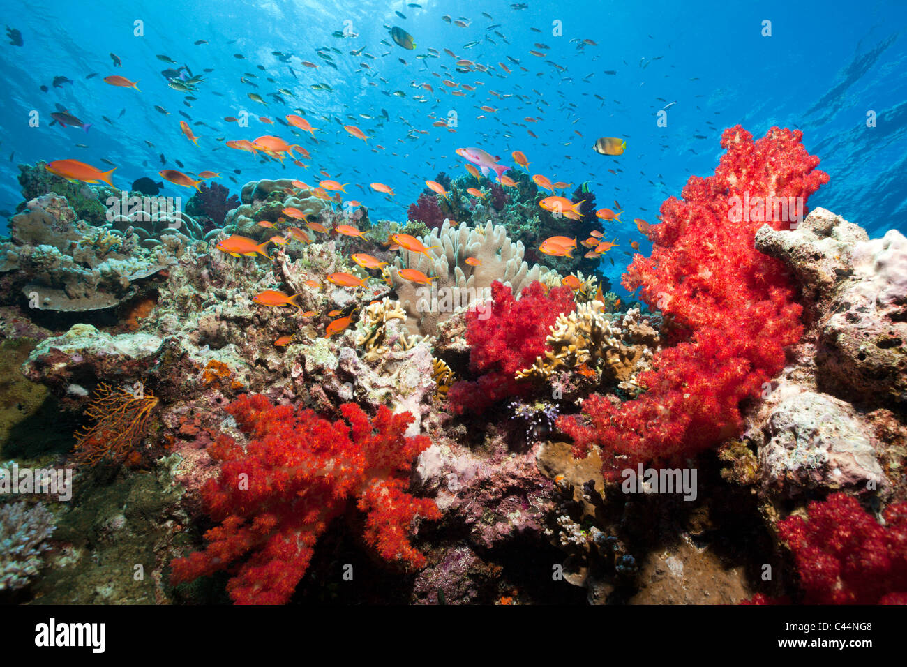 Colorful Coral Reef, Beqa Lagoon, Viti Levu, Fiji Stock Photo ...