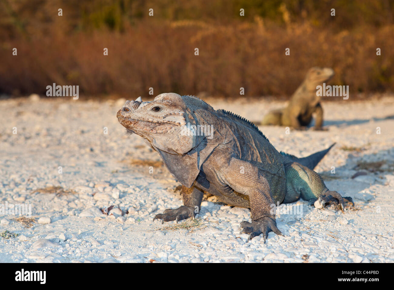 Rhinoceros Iguana, Cyclura cornuta, Isla Cabritos National Park, Lago Enriquillo, Dominican Republic Stock Photo