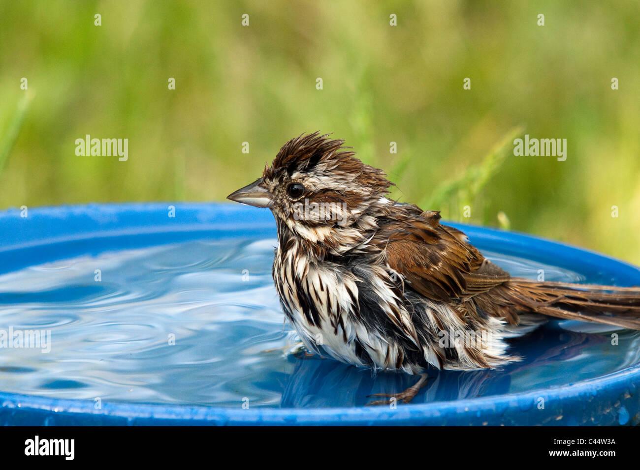 Song sparrow in a bird bath - Stock Image