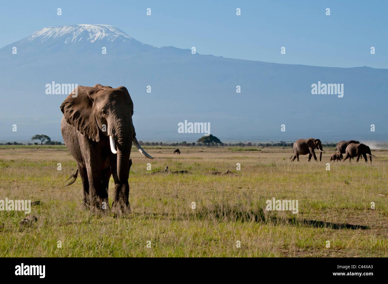 East Africa, Kenya, Kilimanjaro, Amboseli, solitary, bull, elephant, wildlife, game reserve, park, tourism, attraction, - Stock Image