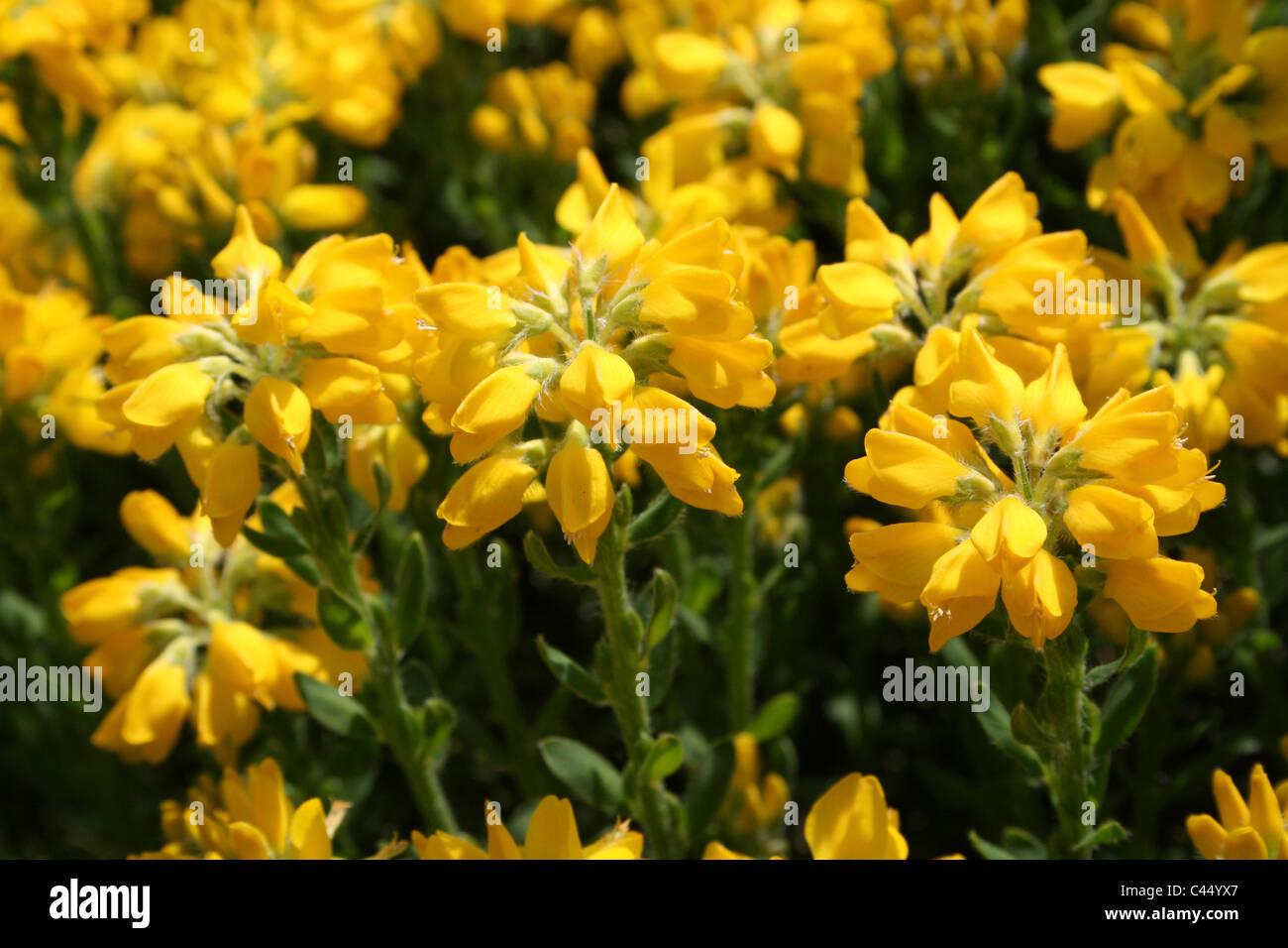 Yellow Flowers On A Garden Shrub - Stock Image