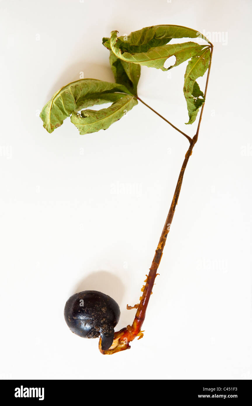 A horsechestnut  nut that has germinated and developed into a seedling - Aesculus hippocastanum. See also image - Stock Image