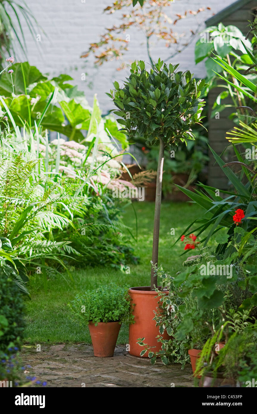 View of topiarised bay tree and other pot plants in garden - Stock Image