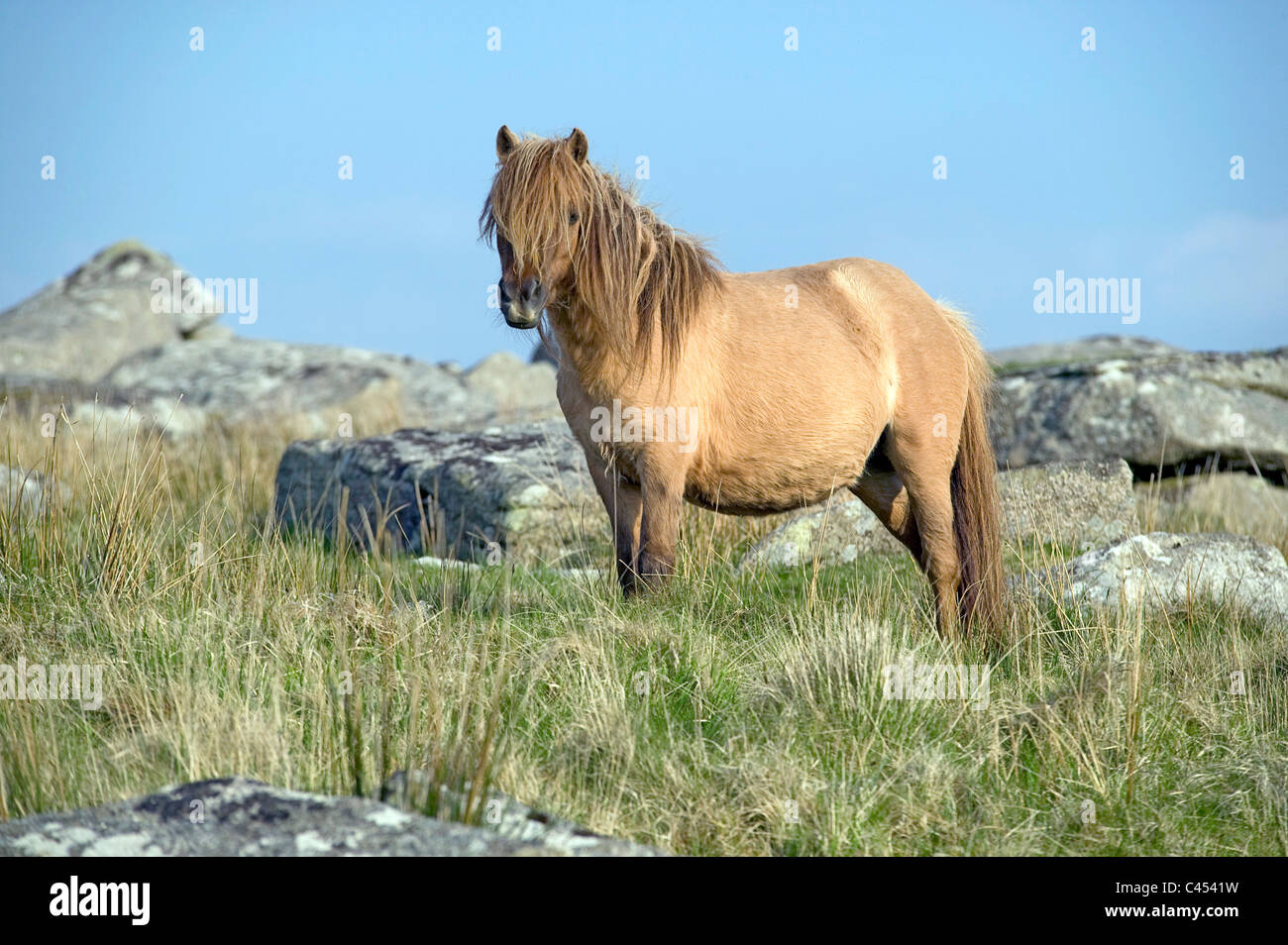 Great Britain, England, Cornwall, Bodmin Moor, pony on Rough Tor hill Stock Photo