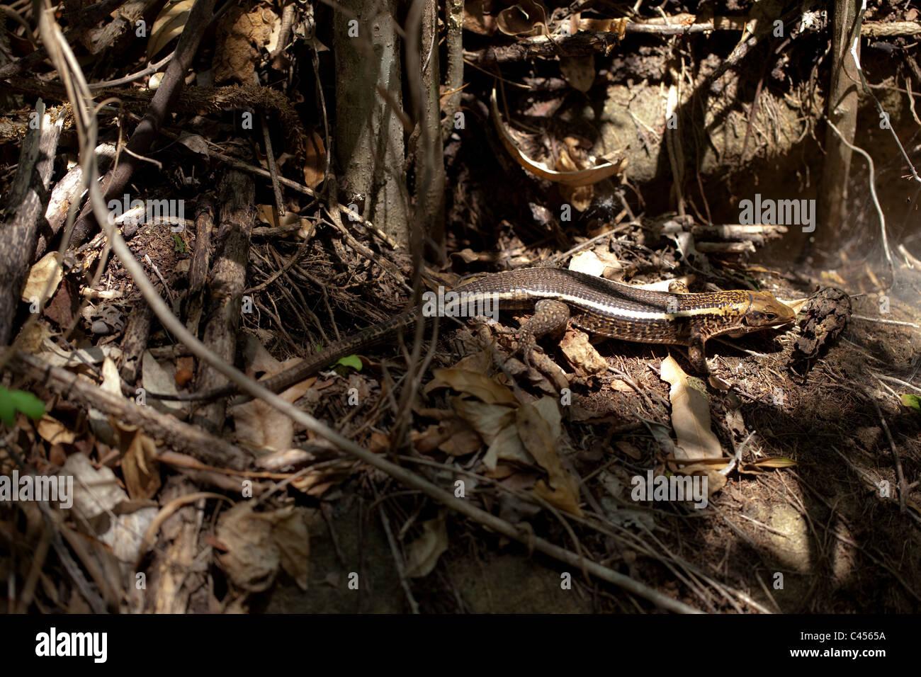 Madagascar Plated Lizard (Zonosaurus madagascariensis). Ranomafana. Forest floor in dappled lighting conditions. - Stock Image