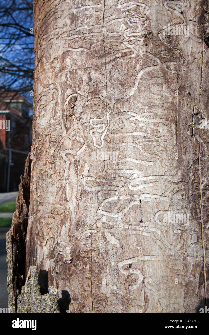 Ash Tree Killed by Emerald Ash Borer - Stock Image