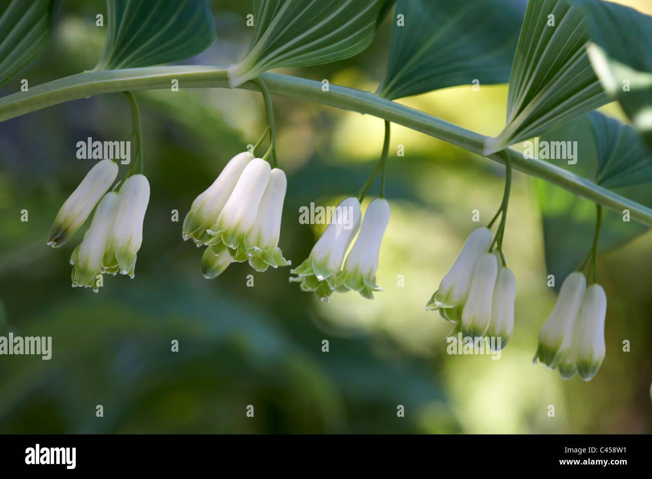 Tubular white flowers stock photos tubular white flowers stock tubular white flowers polygonatum odoatum solomons seal stock image mightylinksfo