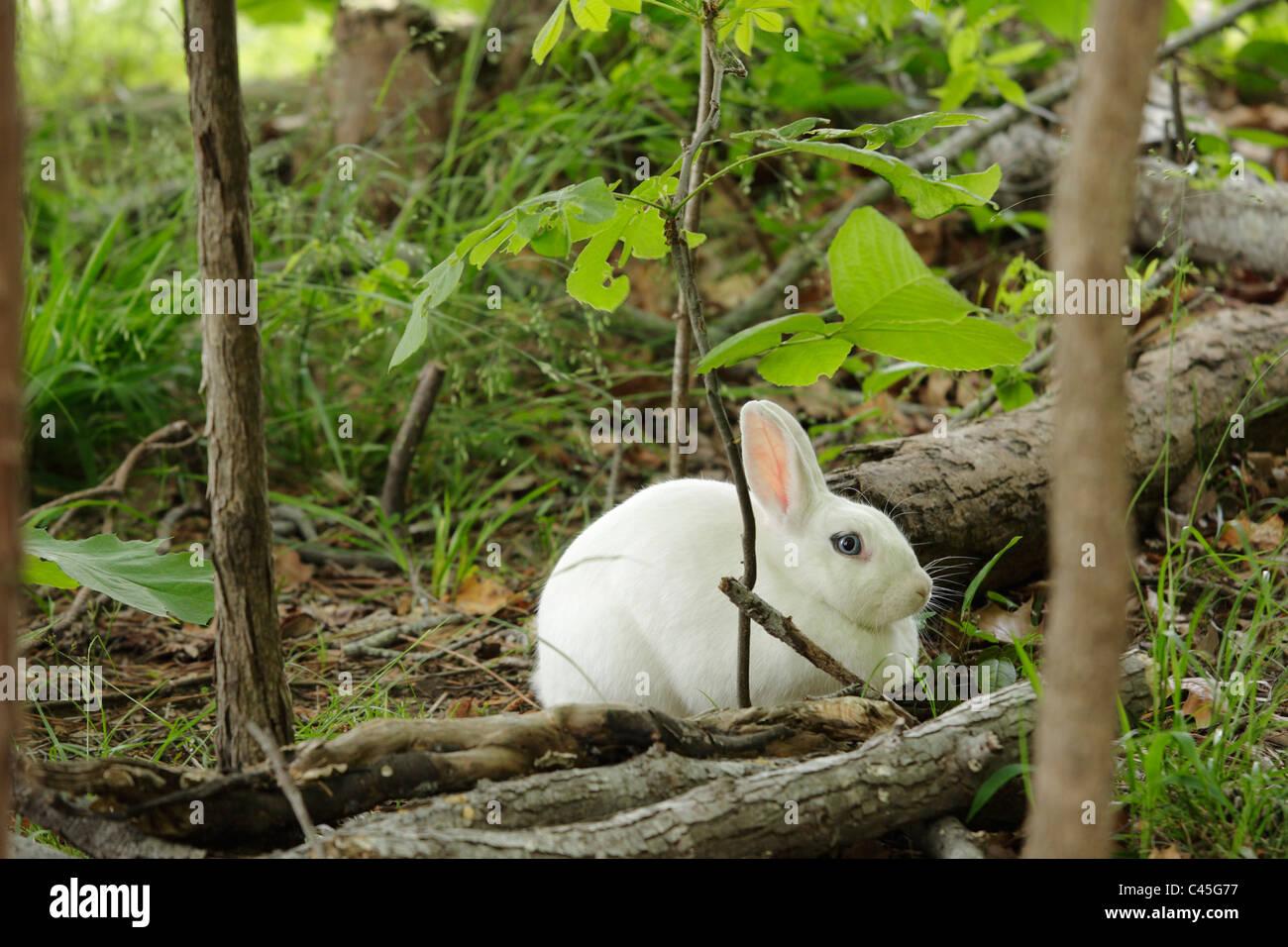 A wild, blue-eyed white rabbit, Wake County, North Carolina, USA - Stock Image