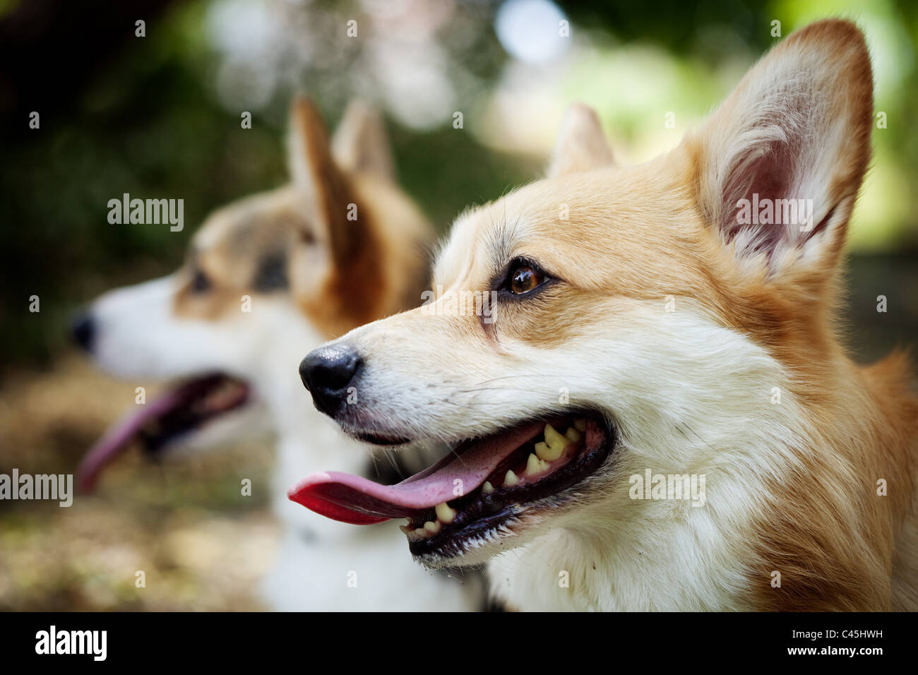 Two Pembroke Welsh Corgi dogs with their tongues out, one dog sharp in foreground and one dog blurred out in the - Stock Image