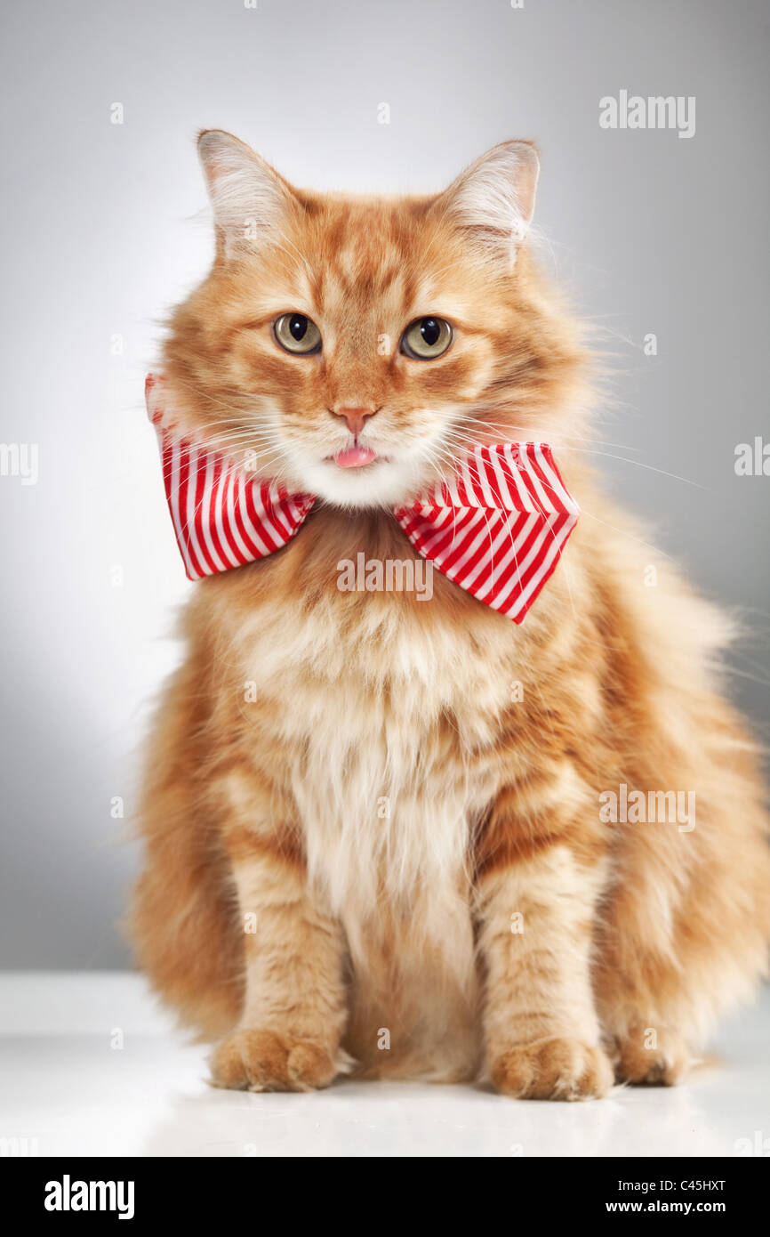 A longhaired fluffy orange cat wearing a bowtie and sticking out a pink tongue, shot in a studio on a white table Stock Photo