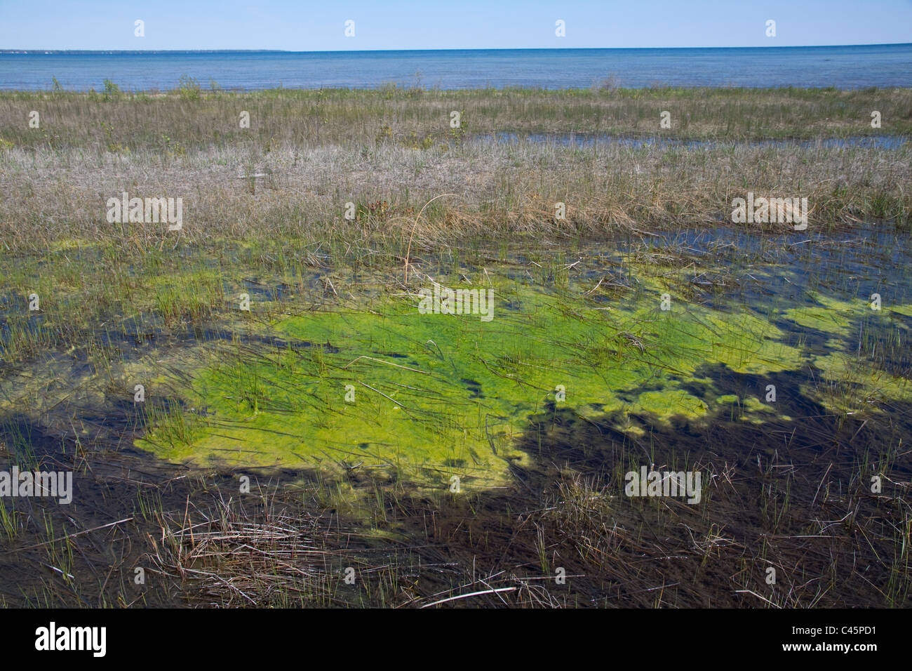 Small Freshwater lagoon with Blue-Green algae or Blue-Green bacteria (Cyanophyta ) near Lake Huron Michigan USA Stock Photo