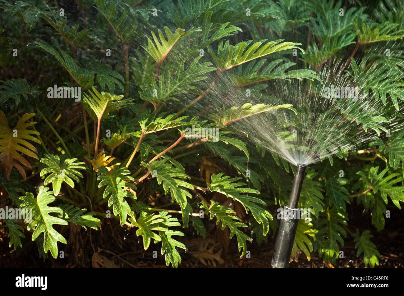 landscape irrigation with sprinkler head - Stock Image