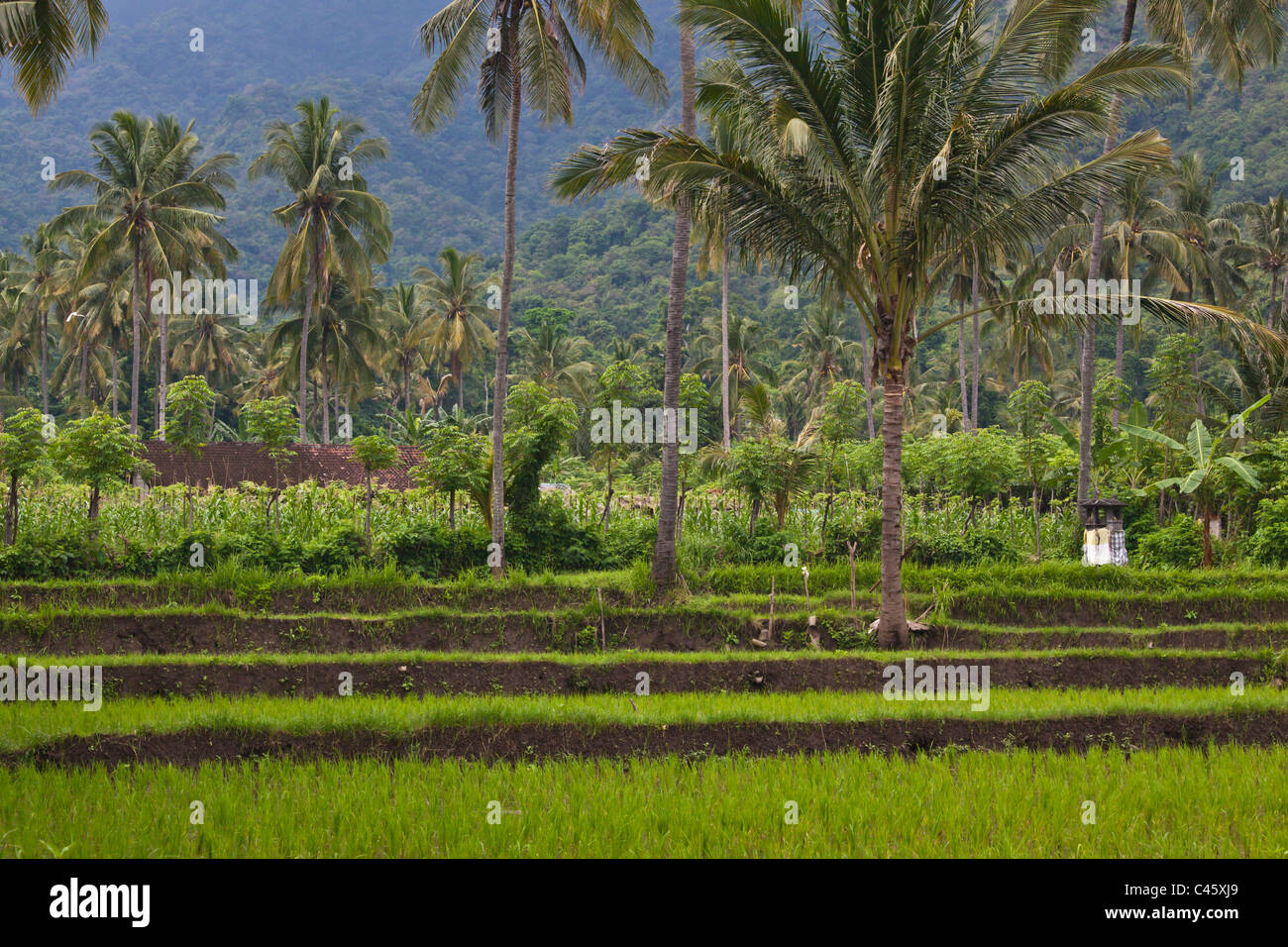 CASSAVA (Manihot esculenta), RICE, BANANAS and COCONUT TREES grow in a rich agriculture valley near PEMUTERAN - - Stock Image