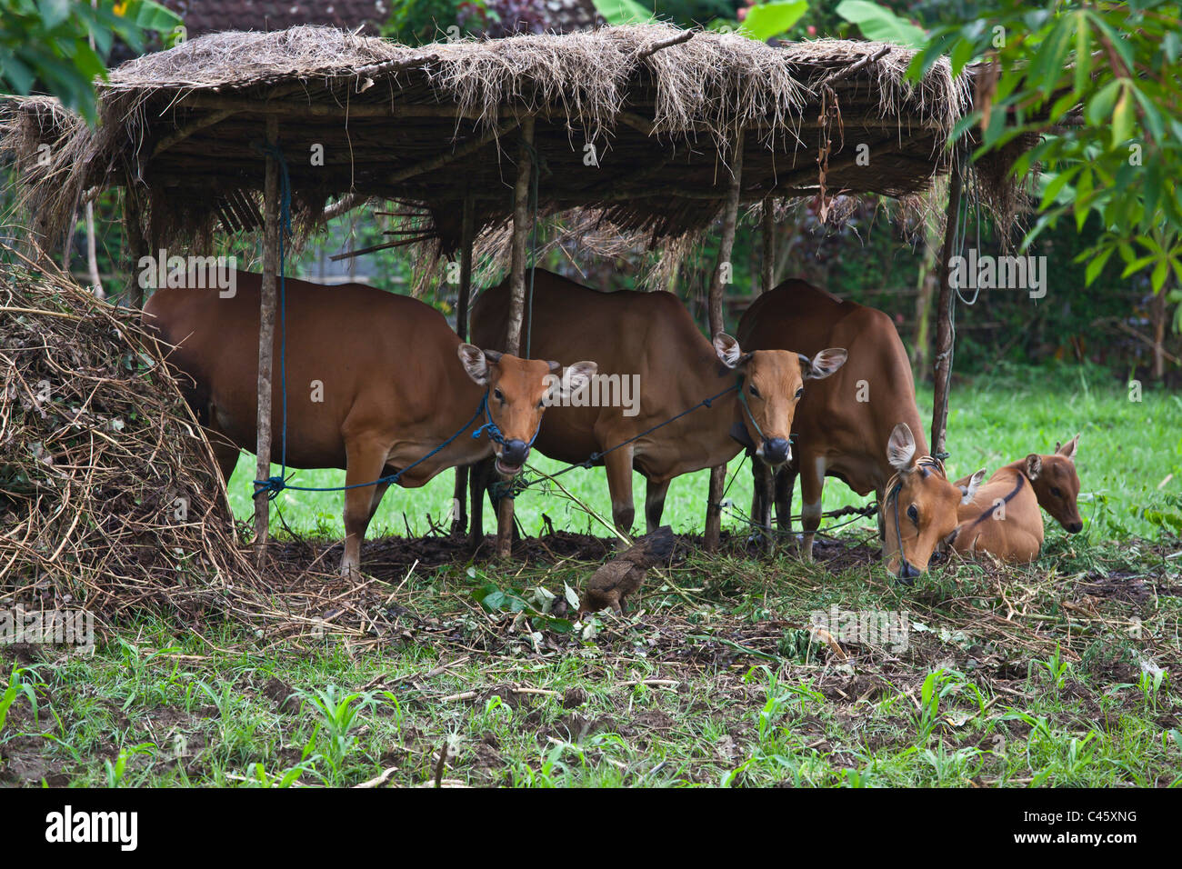 MILK COWS in a agriculture valley near PEMUTERAN - BALI, INDONESIA - Stock Image