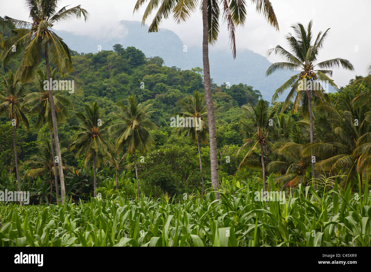 CORN and COCONUT TREES grow in a rich agriculture valley near PEMUTERAN - BALI, INDONESIA - Stock Image