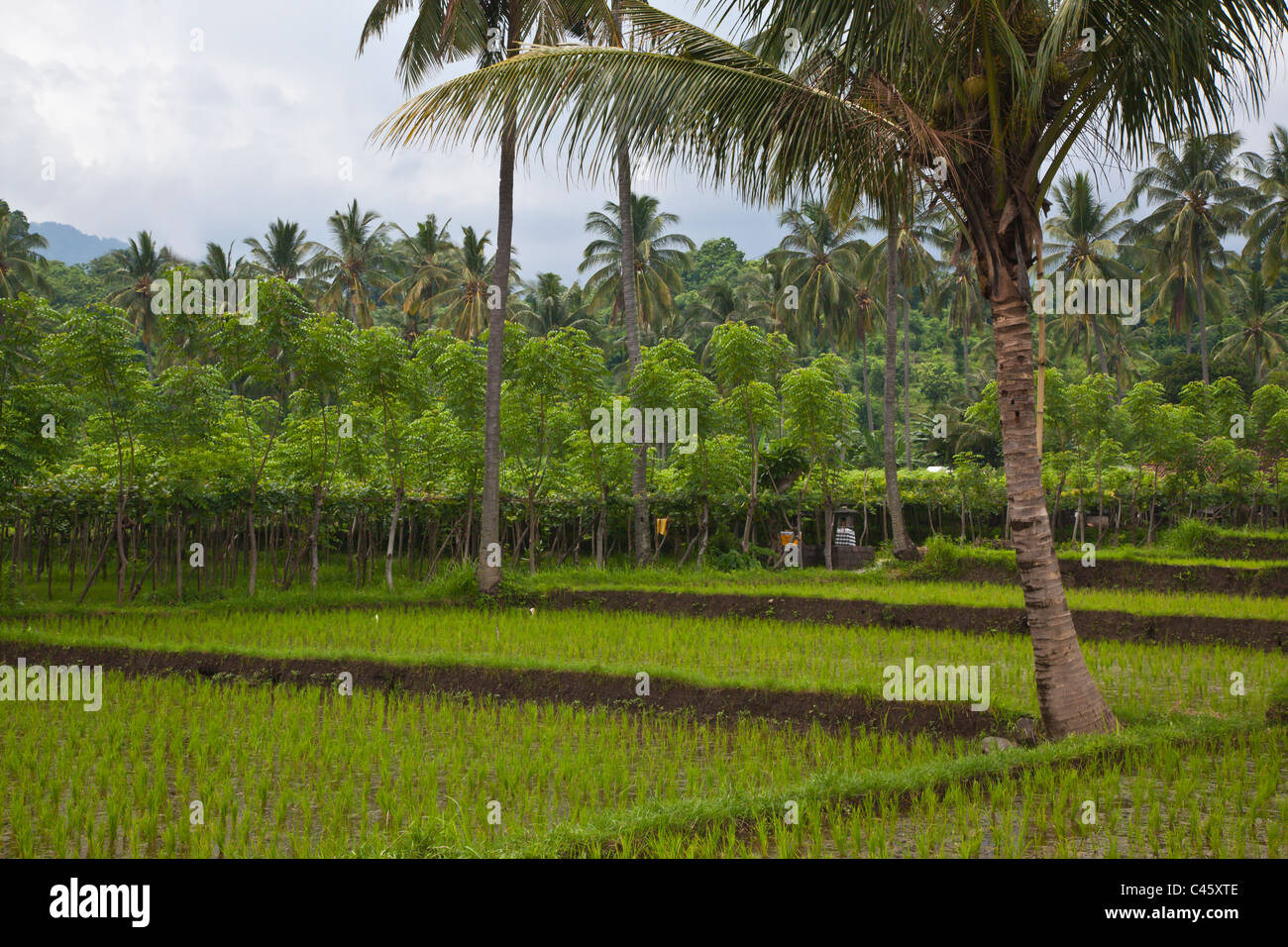 CASSAVA (Manihot esculenta), RICE, and COCONUT TREES grow in a rich agriculture valley near PEMUTERAN - BALI, INDONESIA - Stock Image