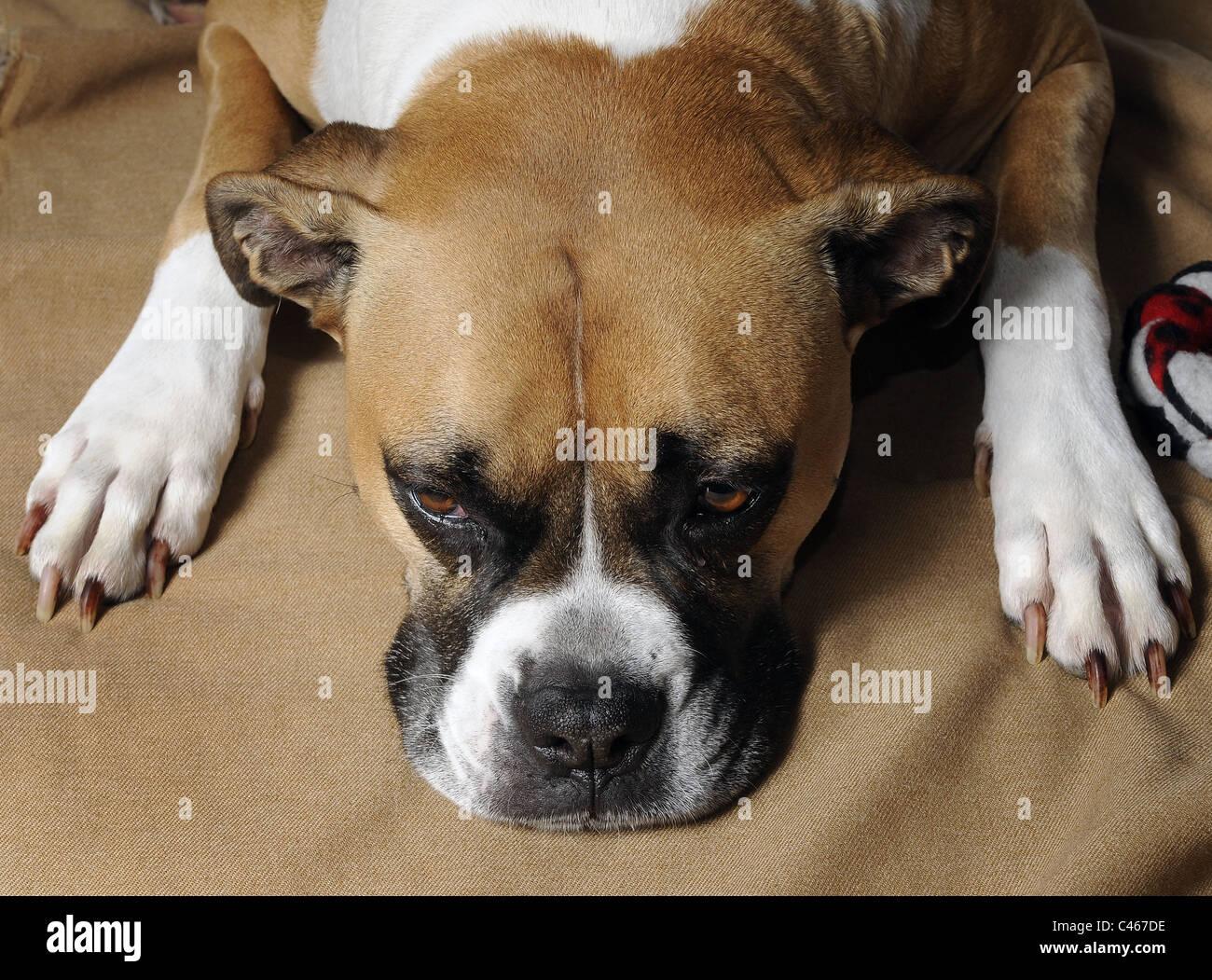A Mixed Breed Female Boxer American Bulldog Stock Photo Alamy
