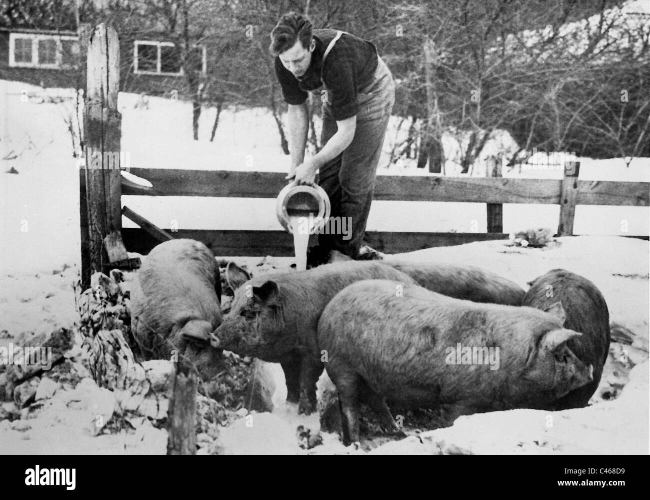 Farmer feeds his pigs with milk, 1933 Stock Photo