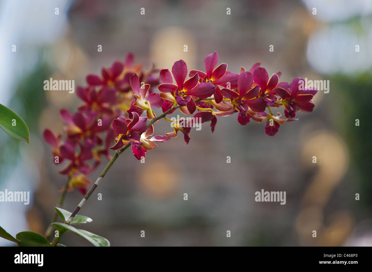 ORCHIDS bloom at PURA TAMAN SARASWATI also known as the UBUD WATER PALACE at dusk - UBUD, BALI, INDONESIA - Stock Image