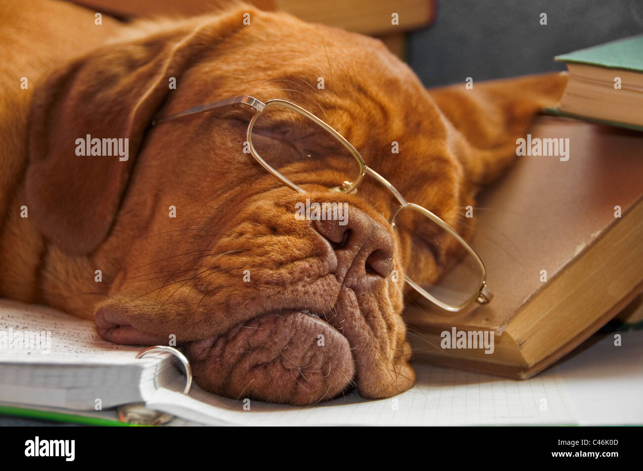 Cute puppy with glasses tired of studying sleeping on textbooks - Stock Image