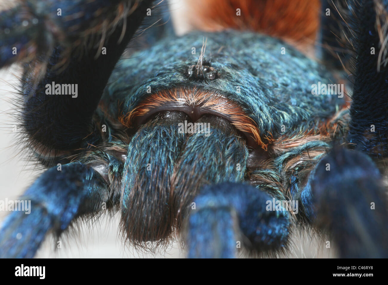 Greenbottle blue Tarantula (Chromatopelma cyaneopubescens) from ranforest in Venezuela. - Stock Image