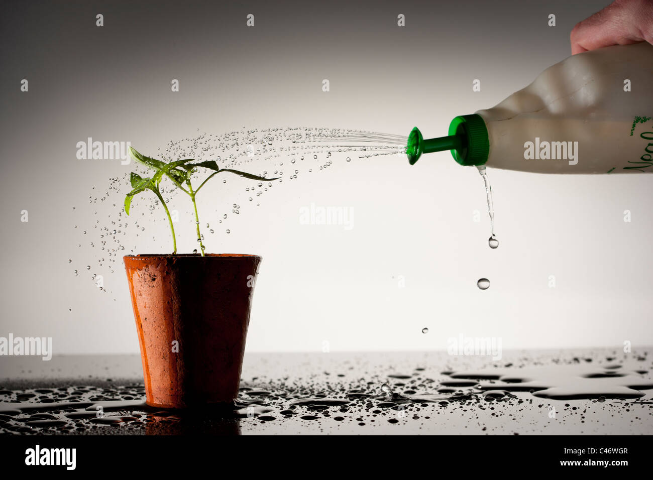 Seedling in terracotta pot being watered - Stock Image