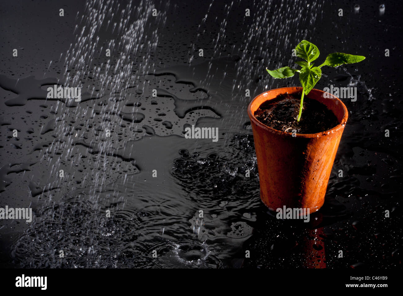seedling in a terracotta pot being watered - Stock Image