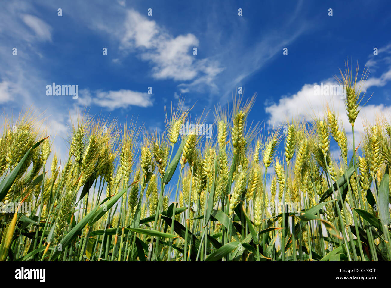green wheat field and blue sky - Stock Image