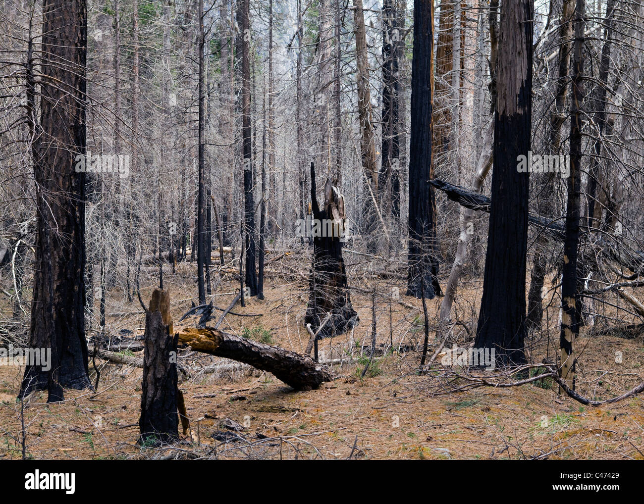 Burned forest of North American Pine trees - Sierra Nevada mountains, California USA - Stock Image