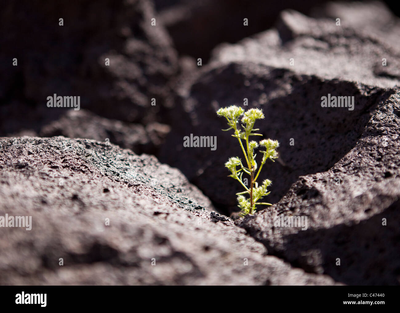 A plant growing out of a thin crack in igneous volcanic rock (lava rock) - California USA - Stock Image