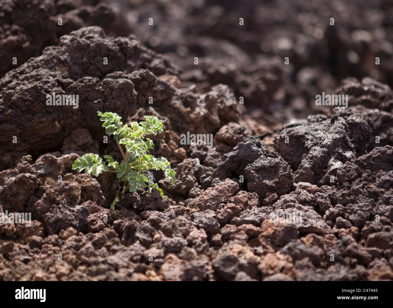 A plant growing on a igneous rock pebbles - Stock Image