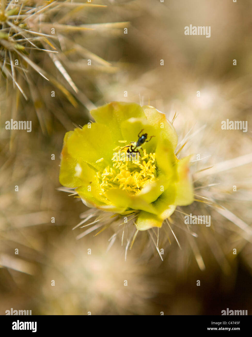 Cholla cactus in bloom - Mojave, California USA Stock Photo