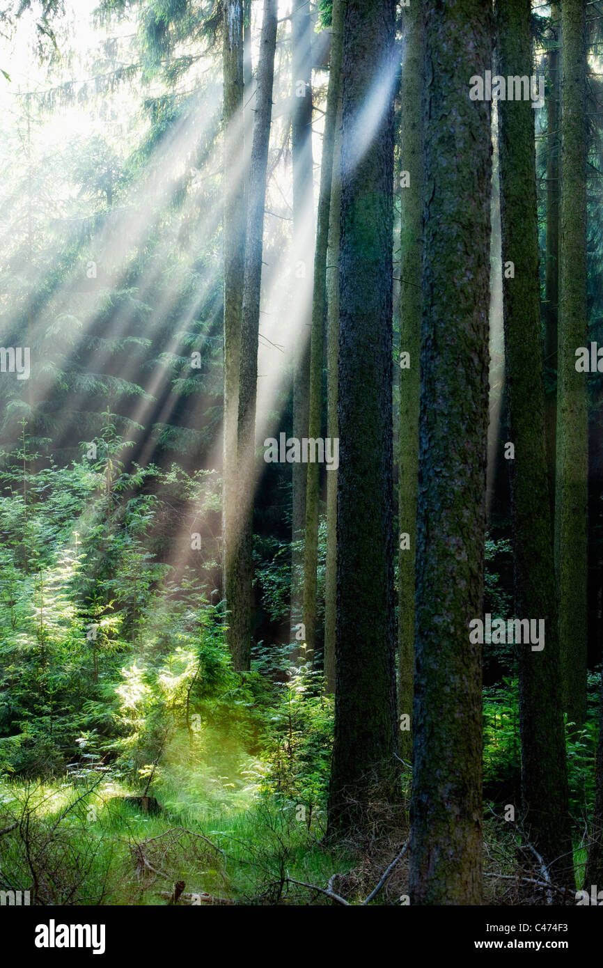 forest scene with sun rays shining through branches - Stock Image