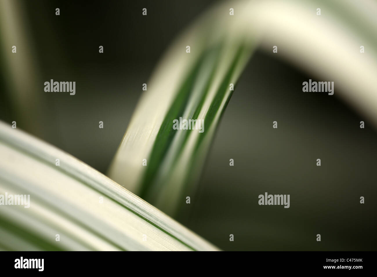 Arundo donax variegata - Giant Reed Grass - abstract shallow depth of field view - Stock Image