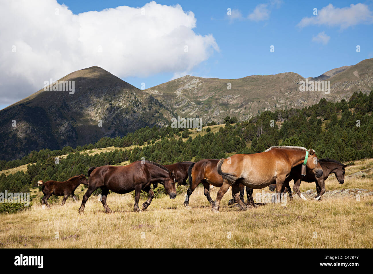 Horses wearing bells in the mountainsVall d'Incles Andorra - Stock Image