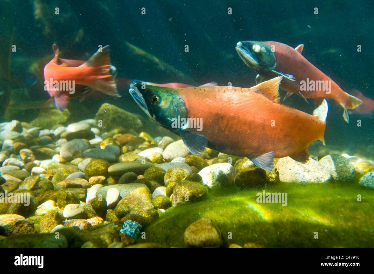 Kokanee (landlocked sockeye salmon) in spawning colors - Stock Image